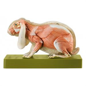 Image result for rabbit anatomical | adt moodboard | Pinterest ...