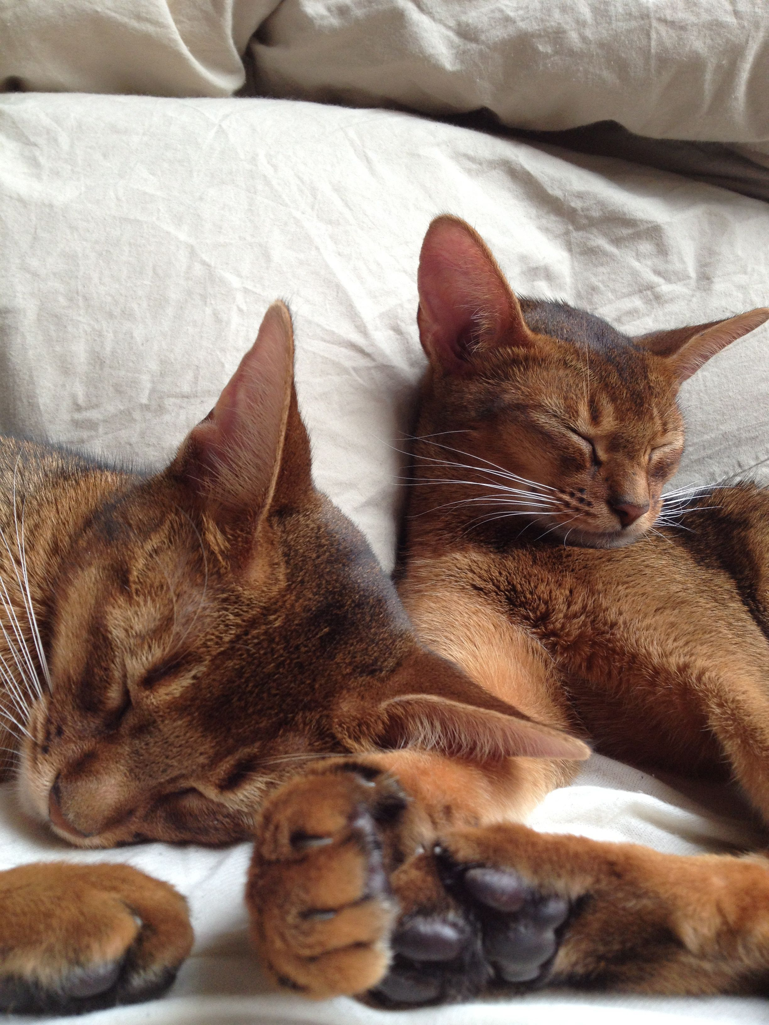 Abyssinian Cats - Chinara and Sela | For the love of cats ...