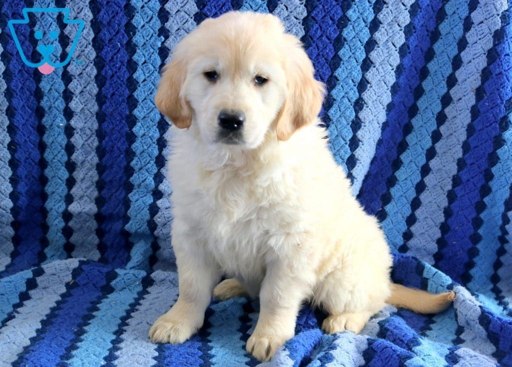 Harley Golden Retriever English Cream Puppy For Sale Keystone Puppies Engcreamgolden Keystonepuppie With Images Golden Retriever Cute Puppy Breeds Puppies For Sale