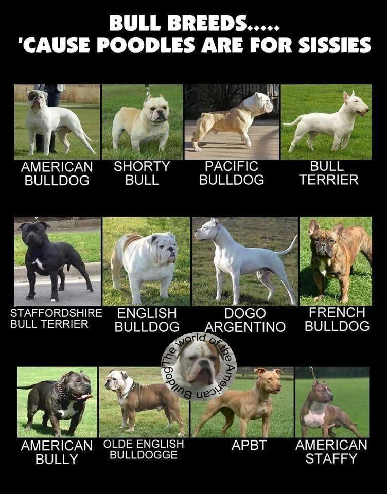 Pin Von Annika Auf Bully Breeds Bulldogge Hunderassen Pitbull Terrier