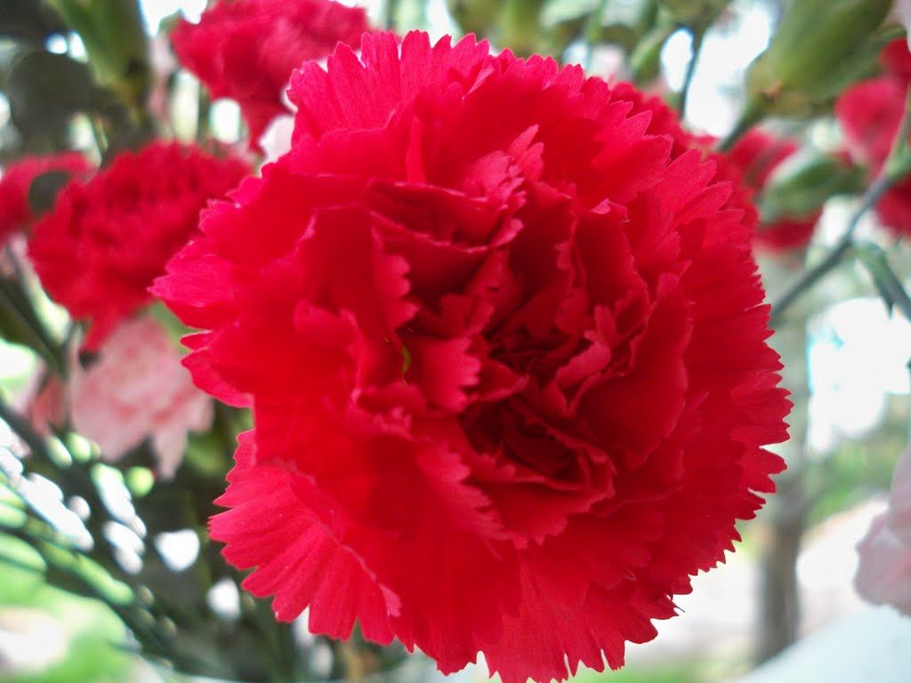 Ohio s state flower Red Carnation OH IO Pinterest