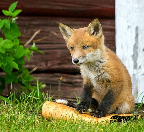 Pentax K-3, Fox   Walter Kosmos   Flickr