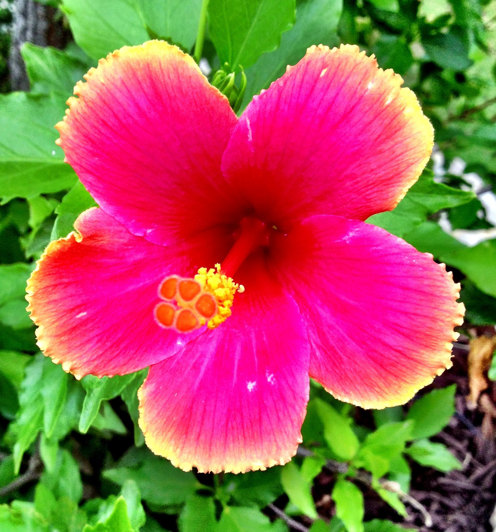 Vibrant tropical hibiscus flower tattoo ideas pinterest vibrant tropical hibiscus flower izmirmasajfo Gallery