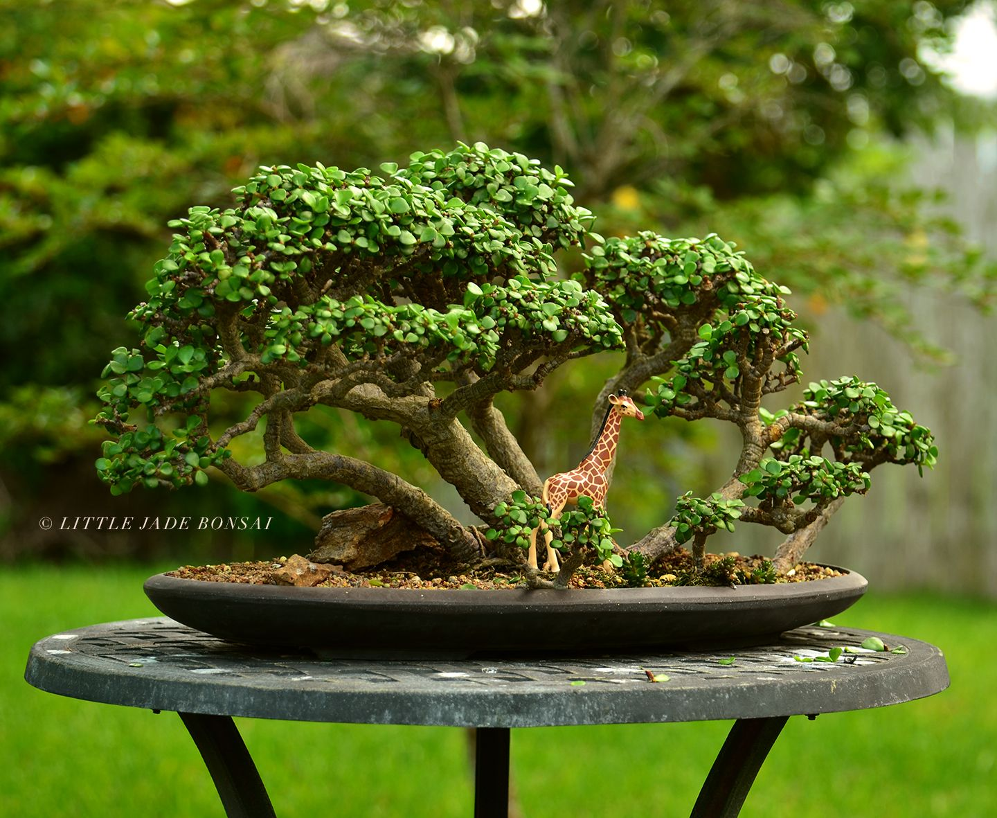 Portulacaria afra (dwarf jade) bonsai tree forest by