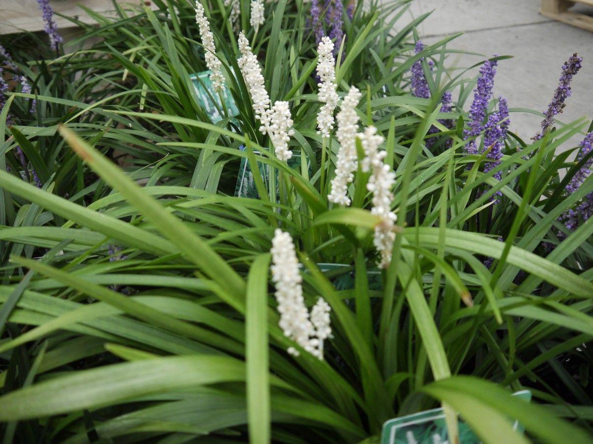 Picture of Live Lily Turf (white) aka Liriope muscari 'Alba' Plant Fit 1 Gallon Pot
