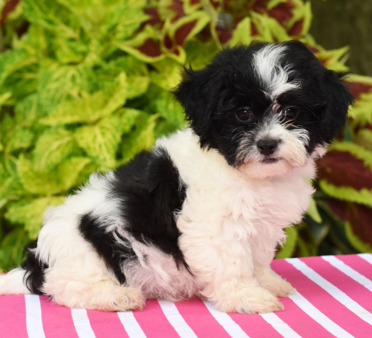 Puppies for Sale Teddy bear puppies, Puppies for sale