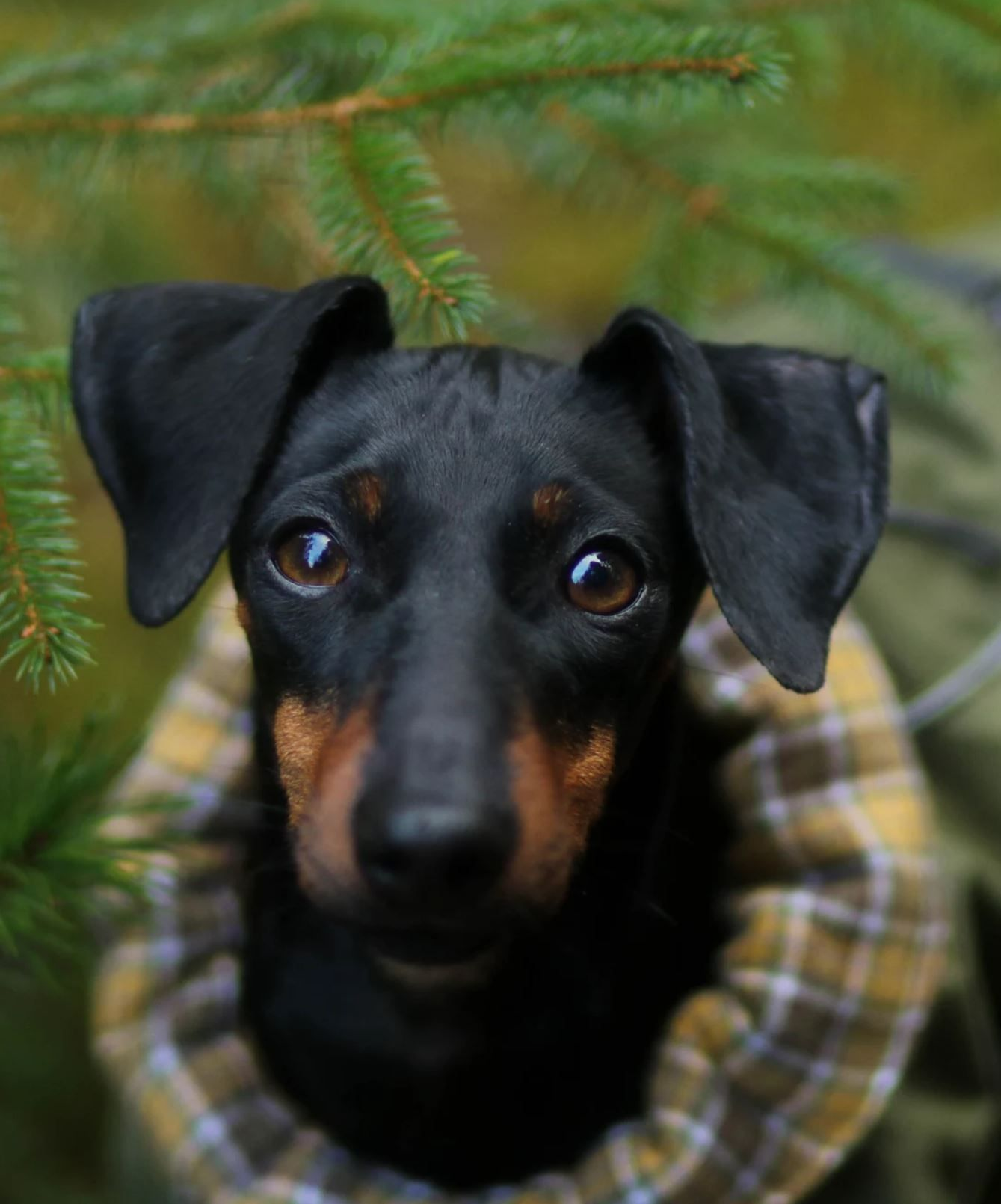 Manchester Terrier Puppy Dog Photography Amalie English Toy
