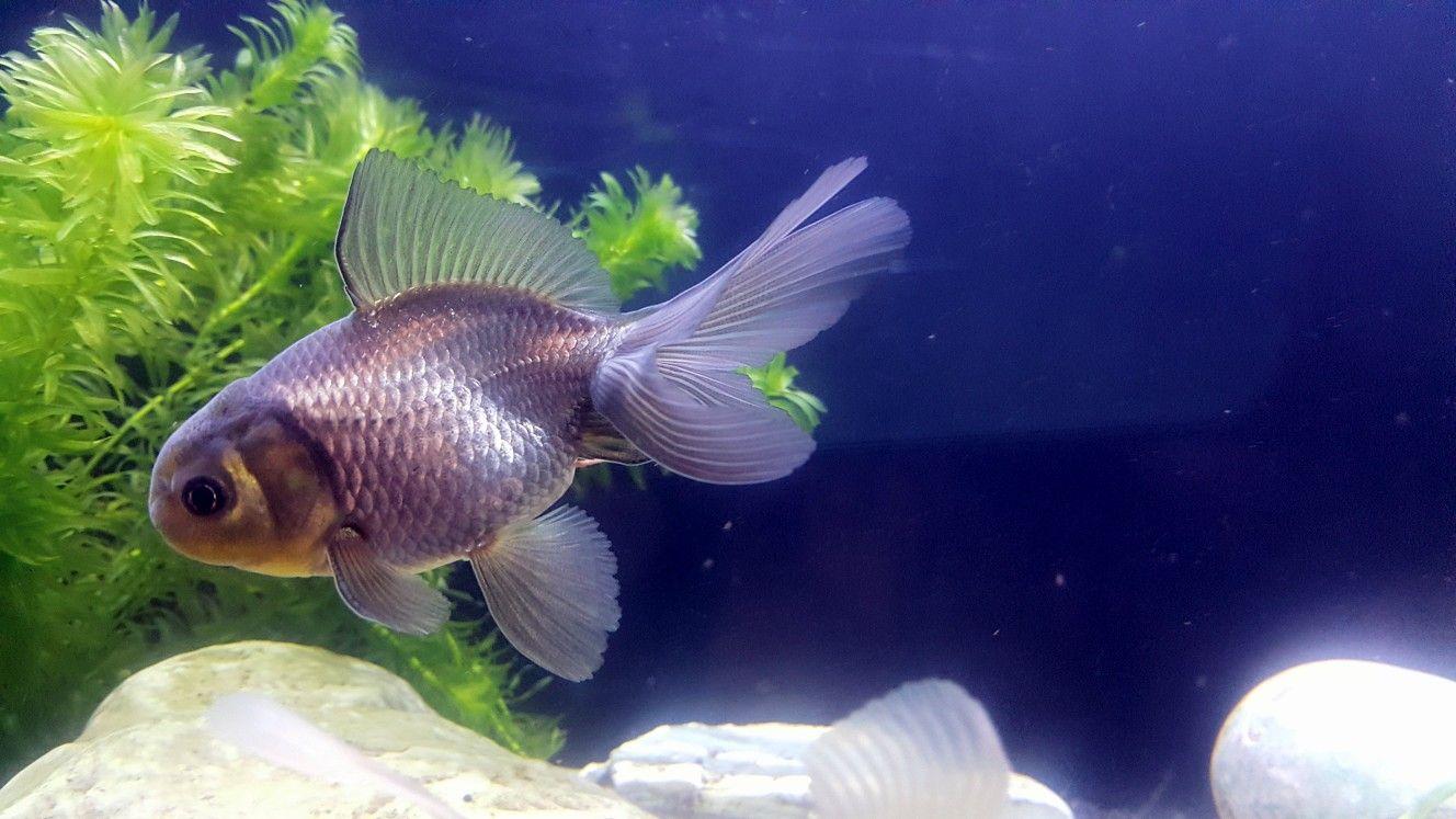 Pin By Frances Coates On Fancy Goldfish Goldfish Fish Pet Fish