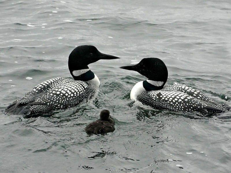 Common Loon family - Turtle Lake, MN.