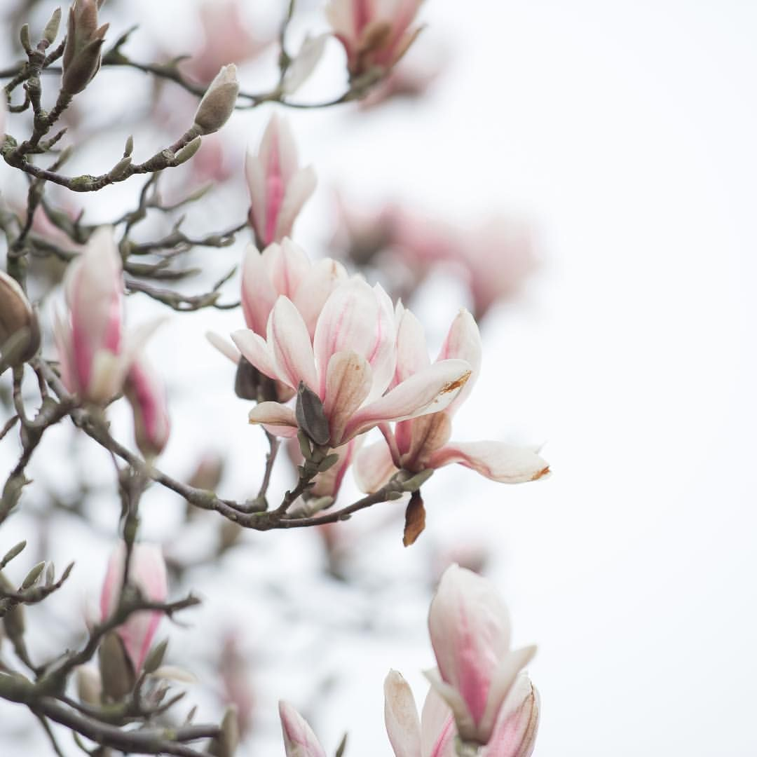 "5,732 Likes, 192 Comments - Hannah (@hannahargyle) on Instagram: ""Good morning! Finally the magnolia is starting to open out where I live, hopefully there will be…"""