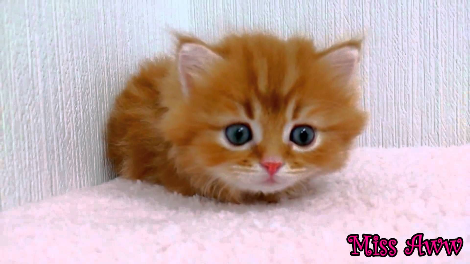 Fluffy Orange Kitten With Blue Eyes Too Cute Orange Kittens Kitten Eyes Baby Kittens