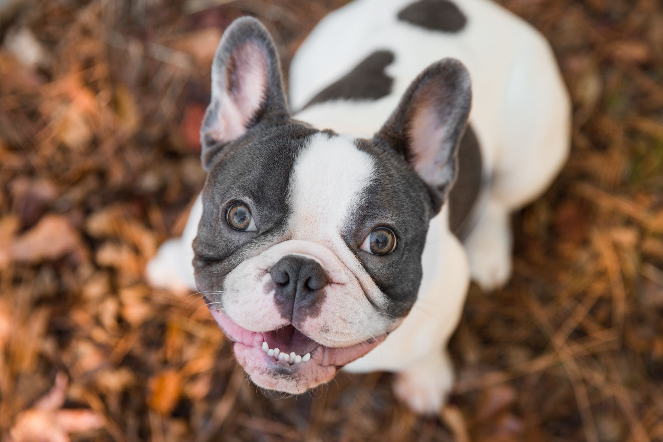 Tale Of Tails Photography Blue Pied French Bulldog Frenchie Perseus Xander Tobias Percy Pied French Bulldog Every Dog Breed French Bulldog Blue