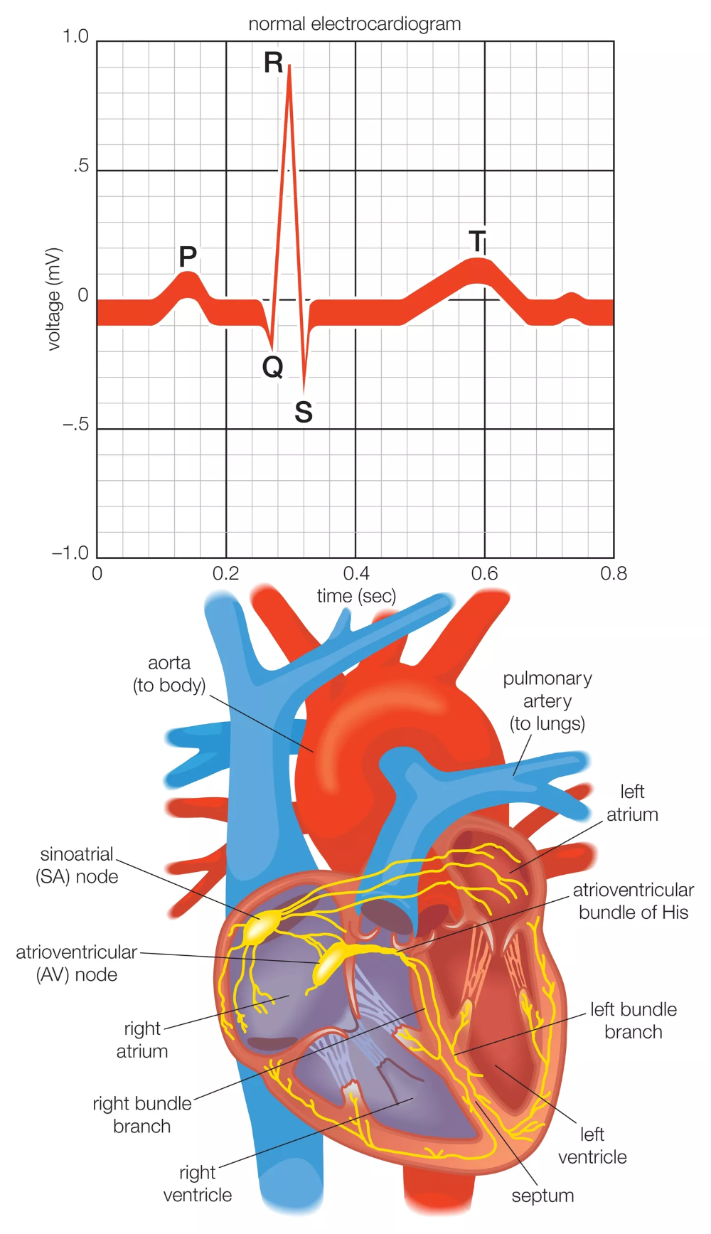 How The Heart S Electrical System Works In 2020 Heart Electrical Icu Nursing Electrical System