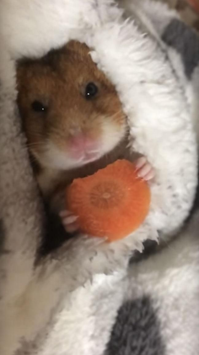 Little Hamster Tucks Himself In With A Sleepy Carrot Snack Cute Baby Animals Cute Funny Animals Cute Hamsters