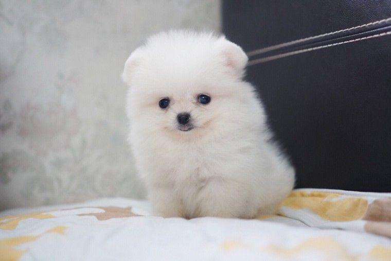 Teddy bear Pomeranian puppy for sale near me, teacup