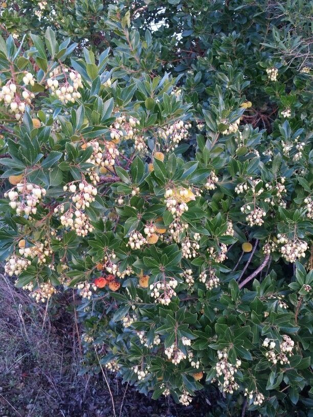 1 de noviembre. El madroño tiene las flores y el fruto al mismo tiempo