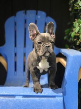 Adopt Bullet On Bulldog Puppies Blue French Bulldog Puppies