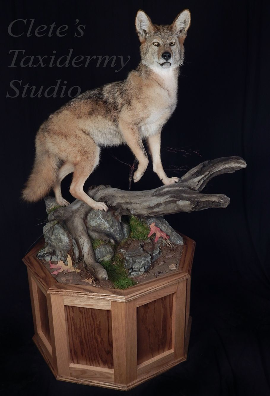 Clete's Taxidermy Studio Taxidermy, Coyote mounts