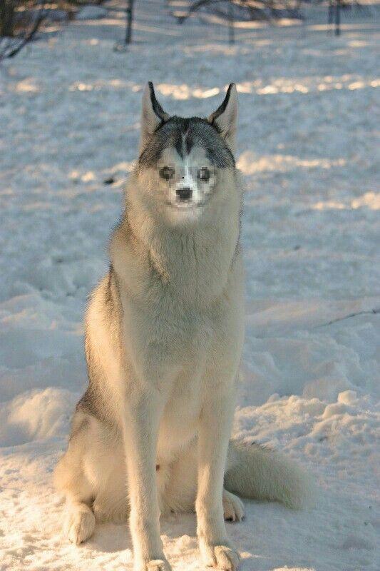 Weird wolf spotted?! | animals | Animals, Dogs, Wolf