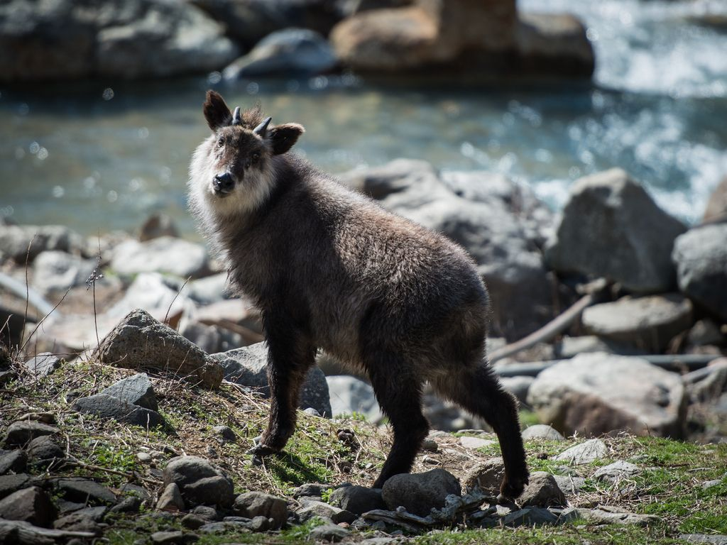 Image result for japanese serow