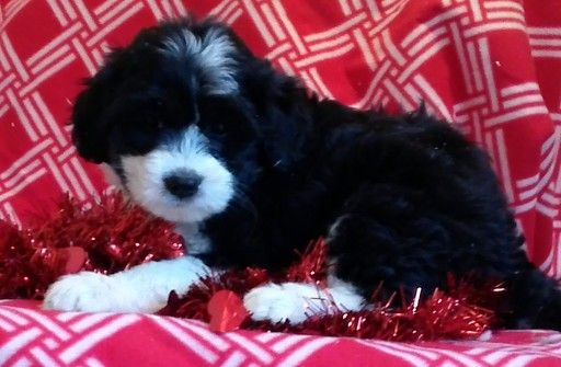 Litter Of 7 Miniature Bernedoodle Puppies For Sale In