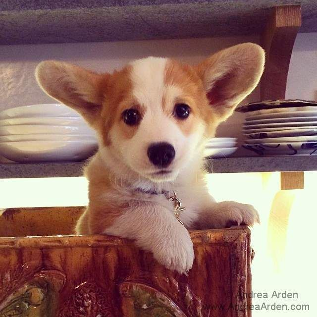 Thatch The Corgi Is Working Hard To Be In The Lead For Cutest
