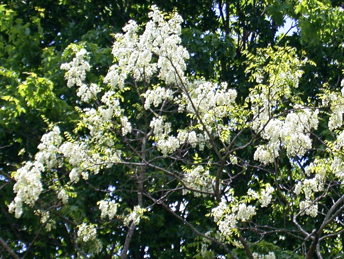 100 Tree With White Flowers That Smell Good Gardening Pinterest
