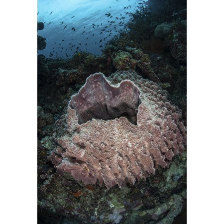 A massive barrel sponge grows n the Solomon Islands Canvas Art - Ethan DanielsStocktrek Images (23 x 34)