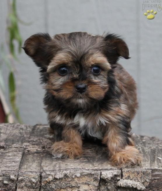 Minnie Teacup Shorkie Puppy For Sale In Ronks Pa Lancaster