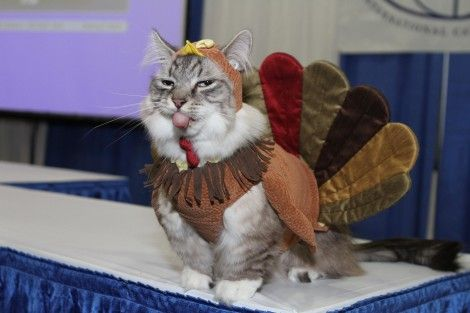 Thanksgiving and cats in costume. Perfection.