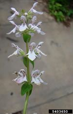 picture of Stachys floridana  Enjoy these lovely little weeds that grows from those white stolens!