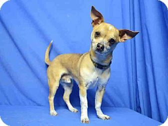 St Louis Mo Chihuahua Meet Chico A Dog For Adoption Pets