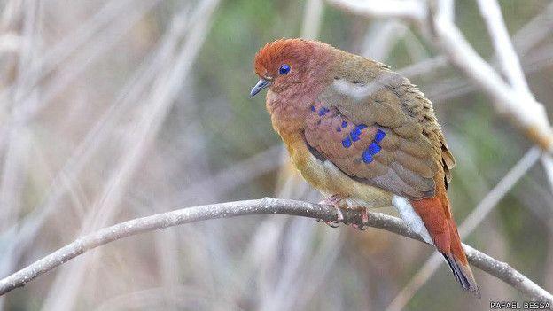 Há 75 anos, a ave não era registrada na natureza. Desde 1941, a Columbina cyanopis, ou rolinha-do-planalto, como é chamada no Brasil, só podia ser apreciada por meio de espécimes preservadas em museus. Foto: Rafael Bessa.