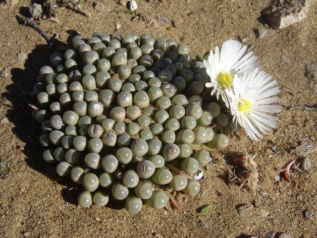 Fenestraria Rhopalophylla Is A Southern Namib Endemic In Habitat Rare Plants Planting Succulents Rare Succulents