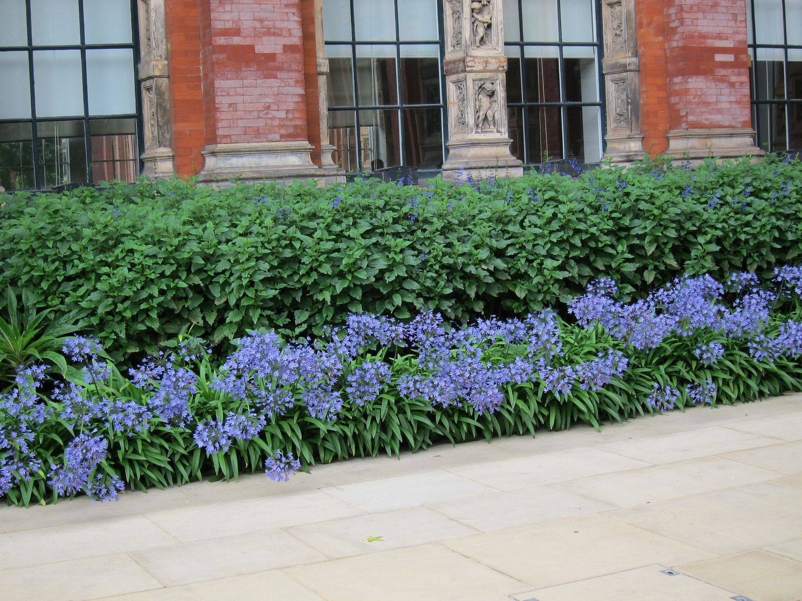 Blue Storm Agapanthus Foundation Planting Front Yard Landscaping Design Foundation Planting Plants