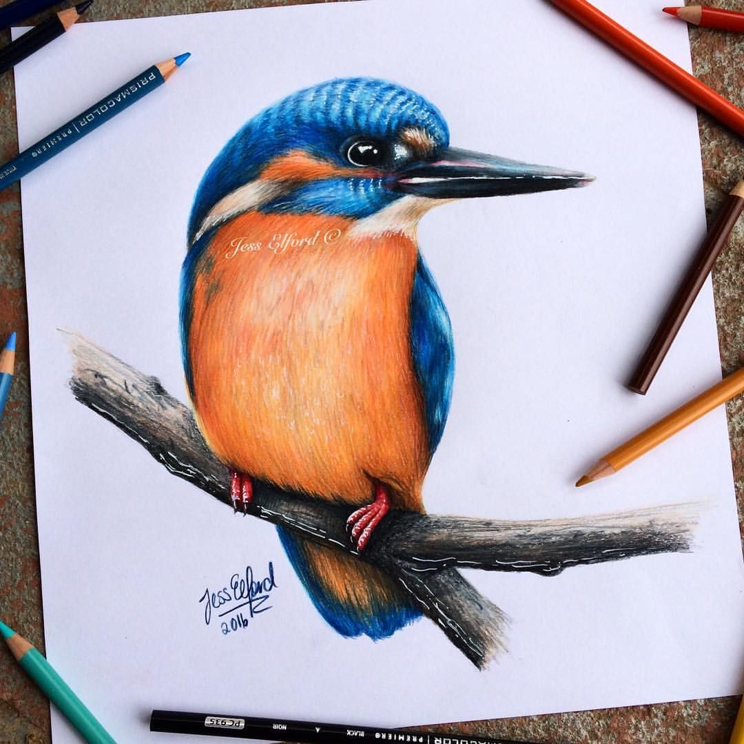 Realistic King Fisher Drawing By Jess Elford Drawn With