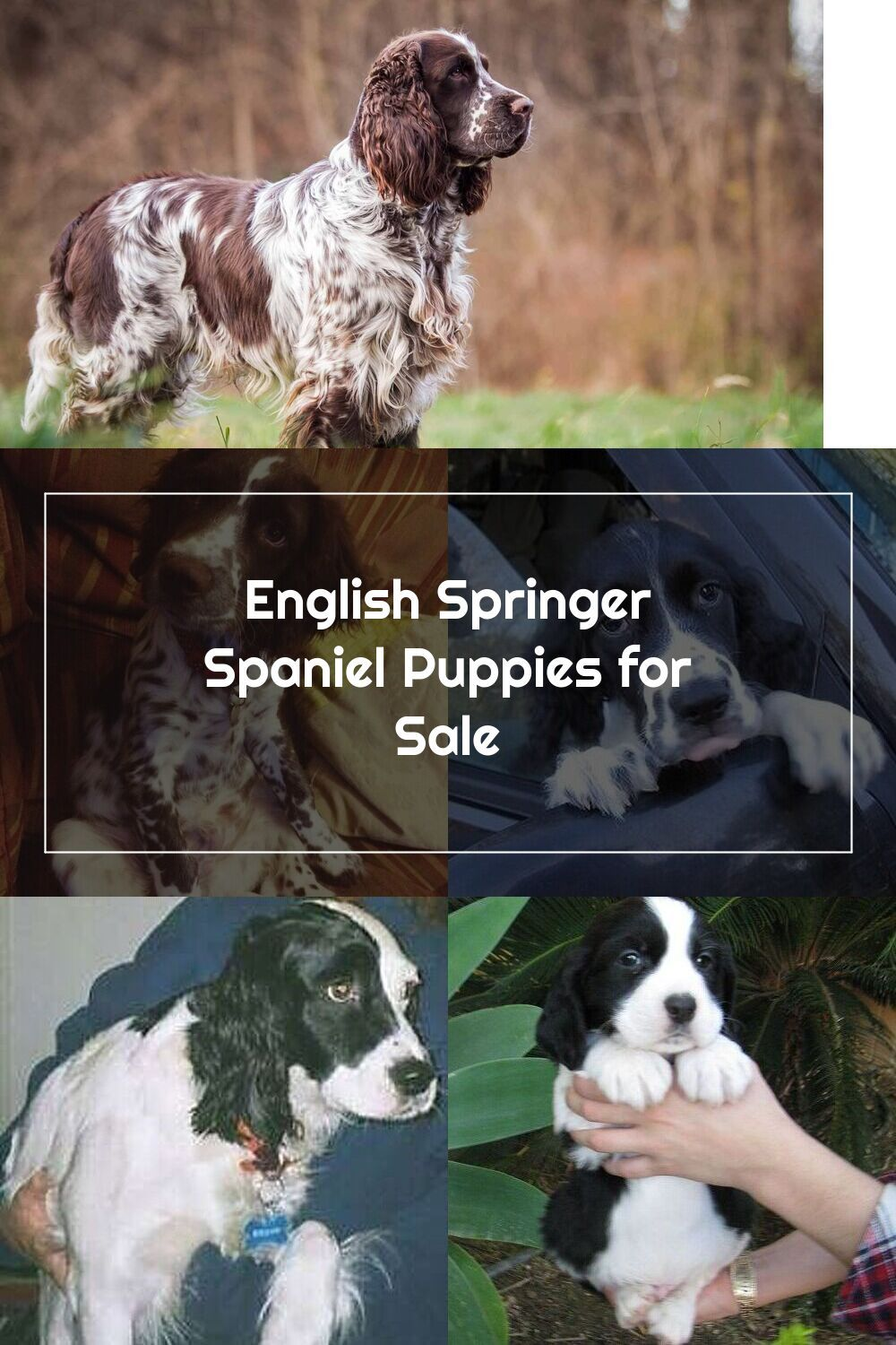 Pin On English Springer Spaniels