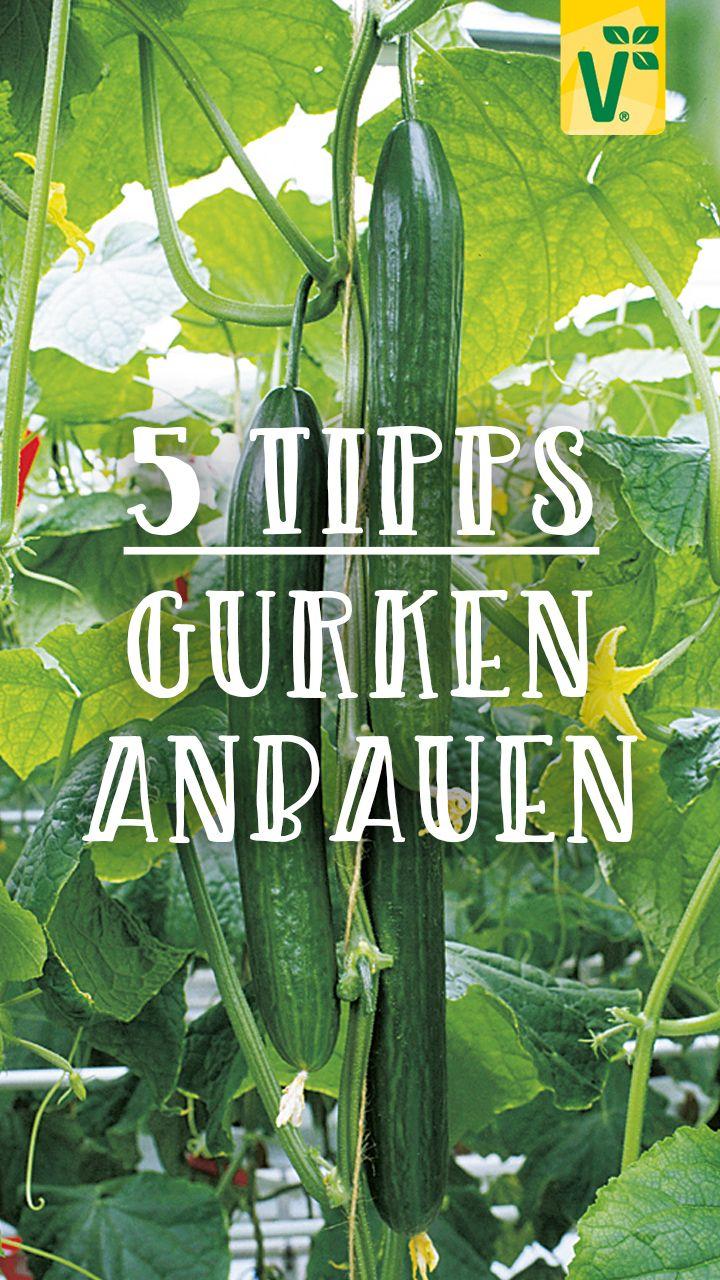 5 Tipps für die Gurkenpflege