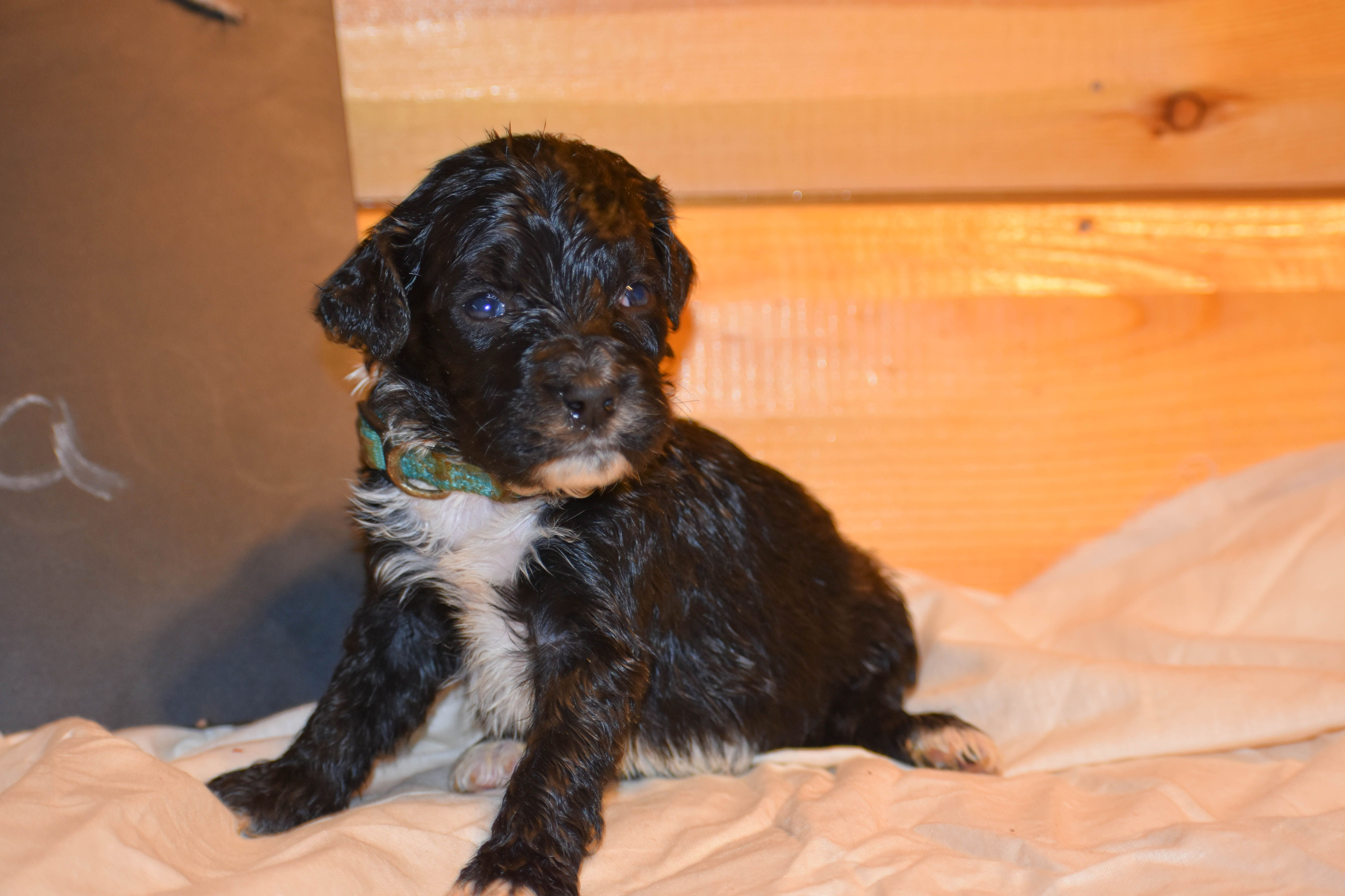 Meet Elsa A Beautiful Bernedoodle Who Made A First Debut Into The