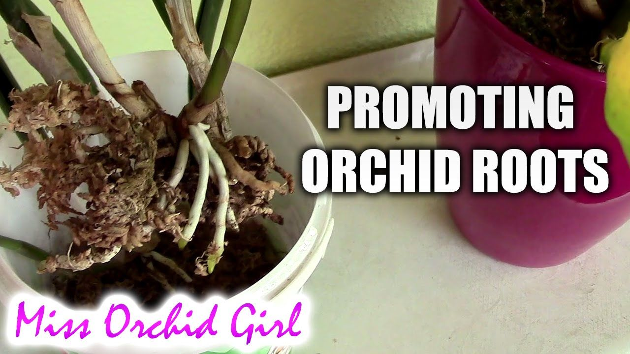 Promoting orchid root growth high vs low moisture orchids