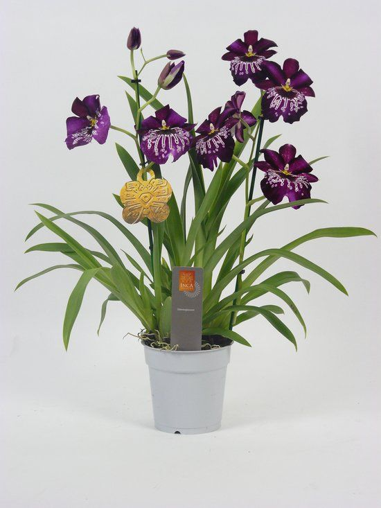 Inca Orchidee Miltonia Paars | Ps