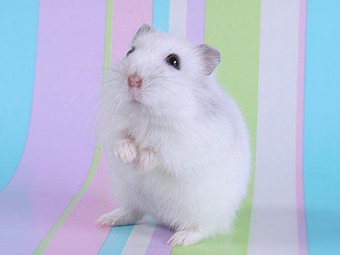 Cute Hamster Hamster Wallpaper Cute Hamsters Hamster