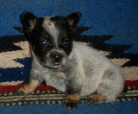Cowboy Corgi Puppy For Sale In Greenwood Ar Adn 50067 On Puppyfinder Com Gender Female Age 9 Weeks Old Cowboy Corgi Corgi Puppies For Sale Corgi Puppy
