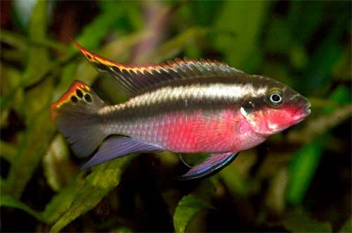 Kribensis Cichlids Cichlid Kribensis Fishkeeping Aquarium Cichlids Tropical Freshwater Fish Fish