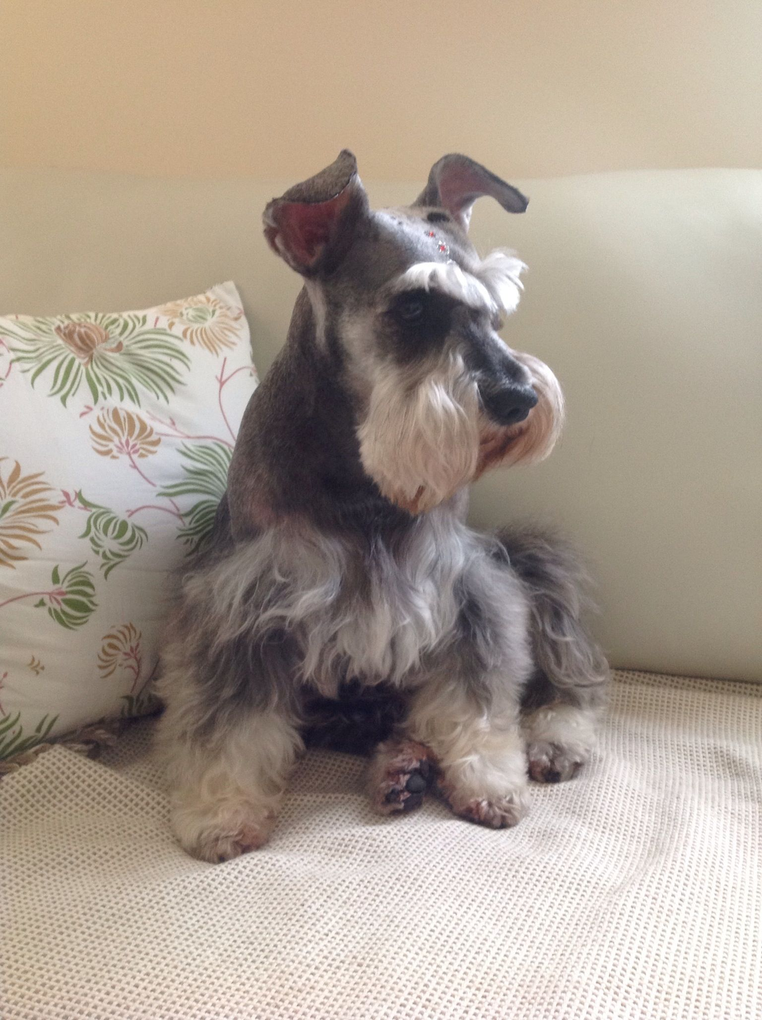 Beautiful Mini Schnauzer Schnauzer Puppy Miniature Schnauzer Schnauzer