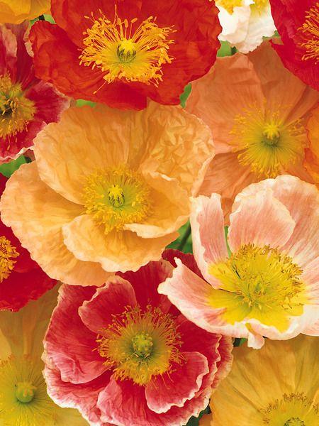 Papaver pulcinella mix iceland poppy poppy flowers papaver pulcinella iceland poppy mixed colors bluestone perennials mightylinksfo