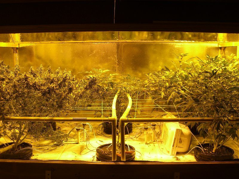 The effects of defoliation on marijuana yields... Why is this so controversial when it works so well for space-limited indoor growers? Original thread with information from the grower: https://www.icmag.com/ic/showthread.php?t=174163