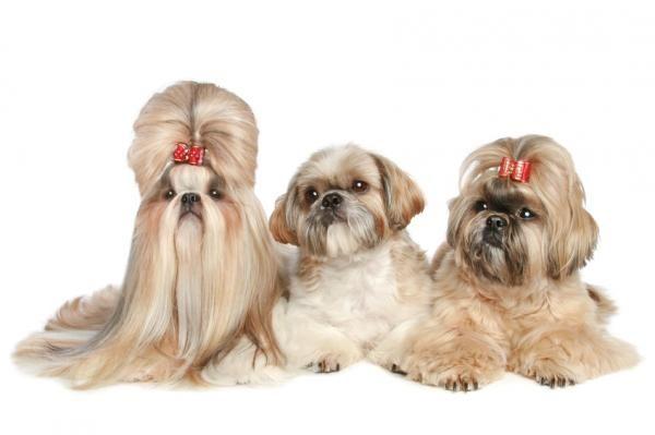 10 Perros De Pelo Largo Grandes Pequeños Y Medianos Razas De Perros Hipoalergénicas Clases De Perros Fotografias De Perros