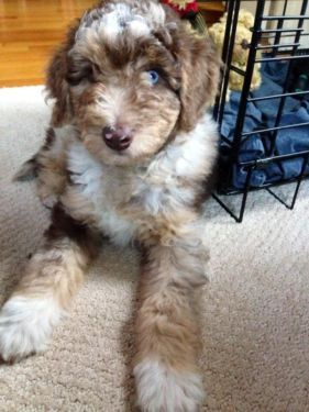 Australian Shepherd Stud Red Merle Dog Training Aussiedoodle Dog Behavior