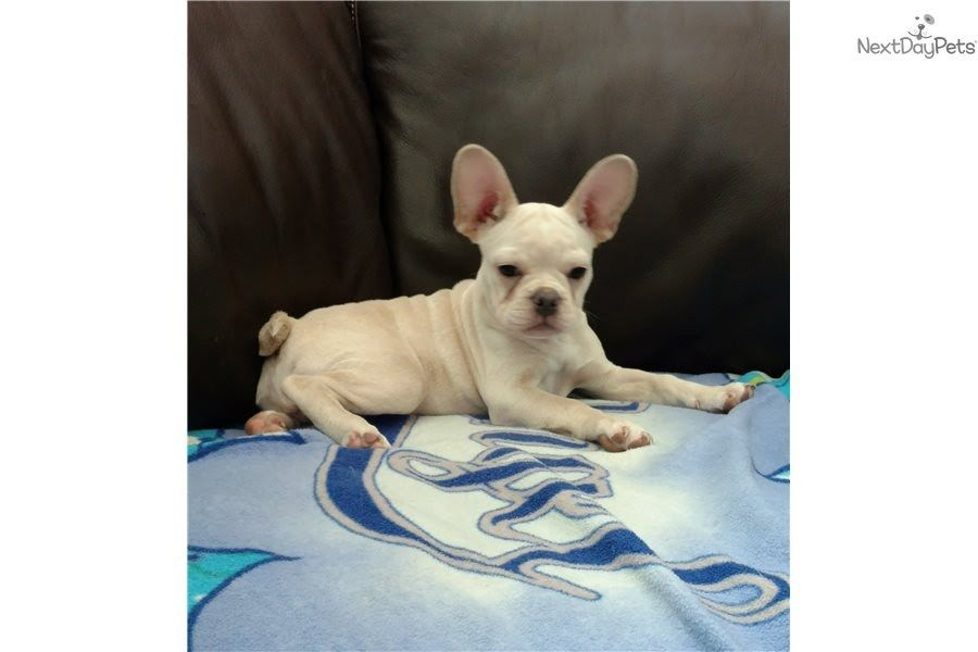 Mini Hana French Bulldog Puppy For Sale Near Austin Texas Stunning
